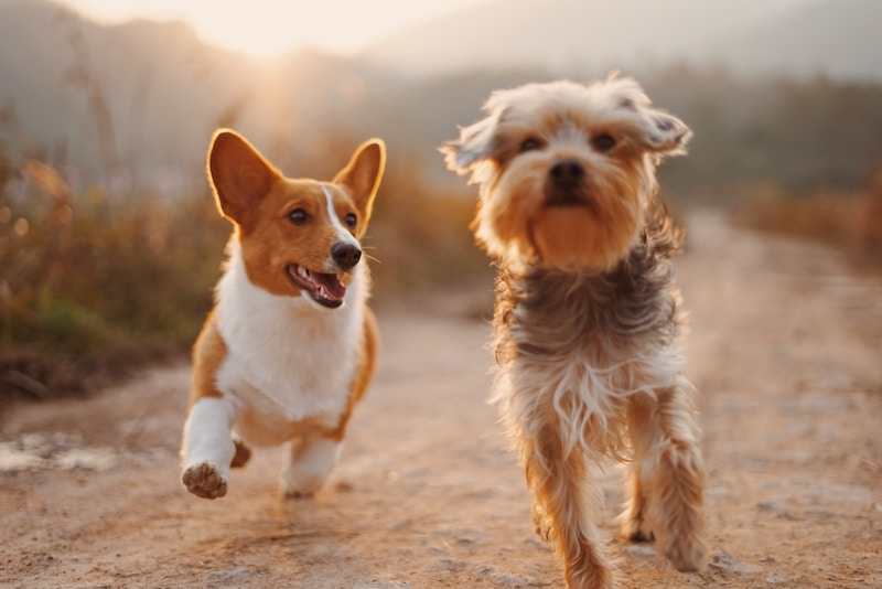 Koirat juoksee