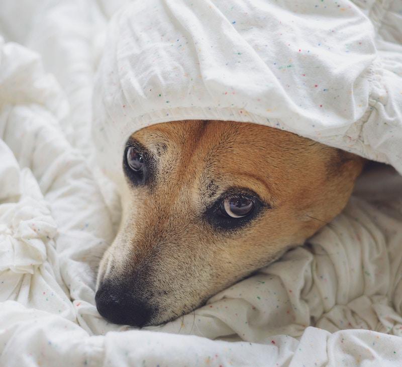 Koira lakanoissa