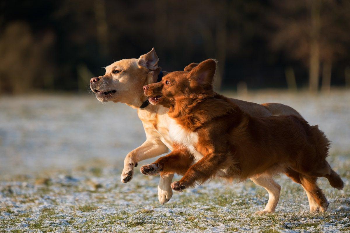 Kaksi koiraa yhdessä